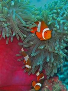 Anemone vissen duikvakantie Filipijnen vakantieduiker