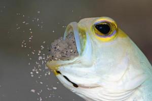 Duikvakantie Bonaire Wannadive vakantieduiker Jawfish eggs out