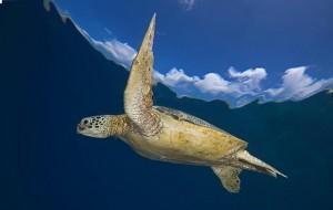 Groepsreis Duikvakantie Bonaire Vakantieduiker Turtle BigGreen at Srb 2