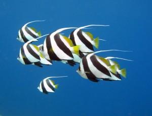 Duikvakantie Egypte vakantieduiker bannerfish