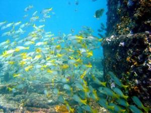Duikvakantie Kaapverdie schoolvis geel vakantieduiker