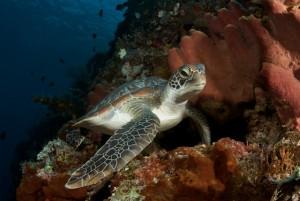 Duikvakantie Murex Manado Bunaken schildpad 2 vakantieduiker