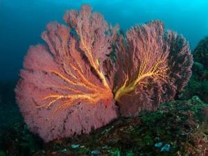 Duikvakantie Pulau Weh Fan Coral vakantieduiker