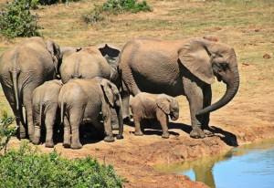 Duikvakantie Vakantieduiker en safari Groep olifanten Kruger NP