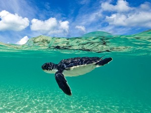 baby turtle swimming duikvakantie wakatobi indonesie vakantieduiker