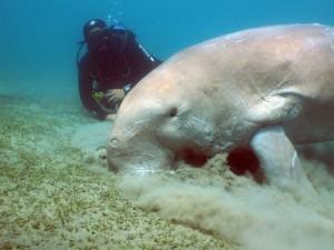dugong duikvakantie zuiden egypte vakantieduiker