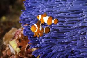 duiken anemoon vakantieduiker c