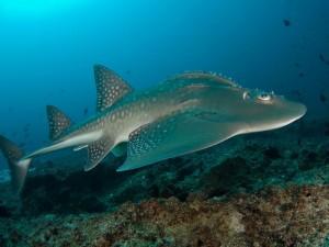 duikvakantie Mozambique tofo gitaar haai 2 vakantieduiker