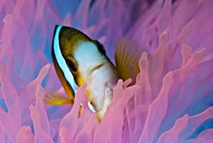 duikvakantie Palau Micronesië roze anemoon vakantieduiker