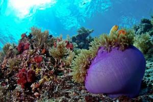 duikvakantie Palau Micronesie anemoon dropboff vakantieduiker