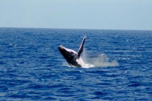 duikvakantie australie bultrug walvis vakantieduiker