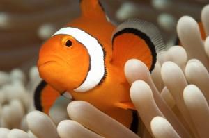 duikvakantie australie clownfish vakantieduiker