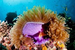 duikvakantie australie deep sea divers den paars anemoon vakantieduiker