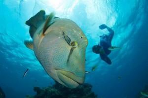 duikvakantie australier napoleon met snorkelaar vakantieduiker