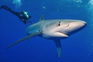 duikvakantie azoren blauwe haai vakantieduiker
