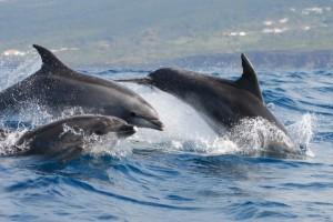duikvakantie azoren dolfijnen vakantieduiker