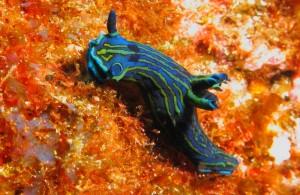 duikvakantie azoren nudibranche vakantieduiker