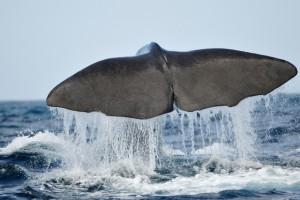 duikvakantie azoren walvis staart vakantieduiker