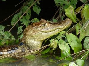 duikvakantie costa rica vakantieduiker crocodile