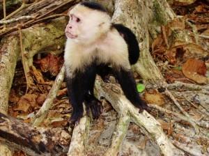 duikvakantie costa rica vakantieduiker monkey