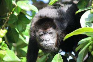 duikvakantie costa rica vakantieduiker monkey1