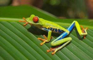 Tree Frog duikvakantie Costa Rica