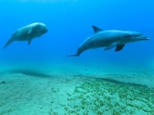 duikvakantie marsa alam vakantieduiker flamenco dugon ws