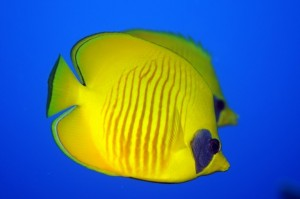 masked butterflyfish Duikvakantie Marsa Shagra vakantieduiker