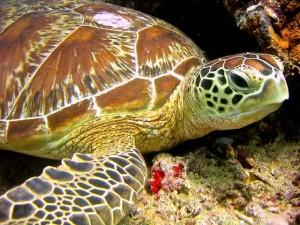 schildpad duikvakantie vakantieduiker
