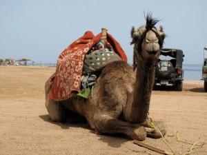 Duikvakantie Egypte Dahab Vakantieduiker camel