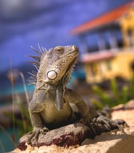 Duikvakantie Bonaire Buddy dive resort leguaan vakantieduiker